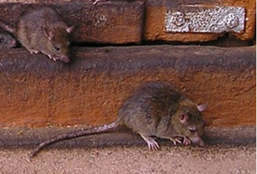 Picture for category RODENTICIDES